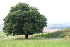 Eyserheide-Kastanjeboom-1