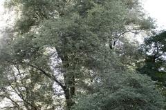 Alkmaar-353-Kwerenbolwerk-Boom-met-witgerande-bladeren