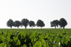 Bunde-024-Zeven-bomen-achter-bietenveld