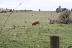 Strucht-Gerendal-094-Herfstlandschap-met-Roodbruine-koeien