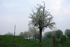 Maasband-15-Bloesem