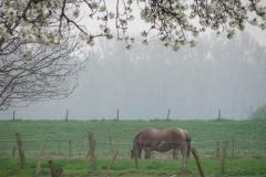 Maasband-18-Bloesem-Paard