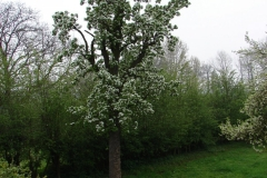 Maasband-28-Bloesem