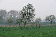 Maasband-42-Bloesem