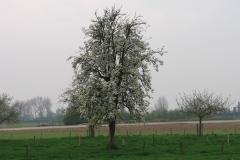 Maasband-45-Bloesem