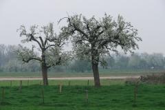 Maasband-46-Bloesem