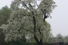 Maasband-49-Bloesem