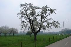 Maasband-50-Bloesem