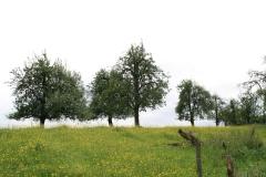 Margraten-042-Perenbomen-in-wei-in-Gerendal