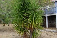 St.-Maarten-0225-Agaveboom-Plantage-Mont-Vernon