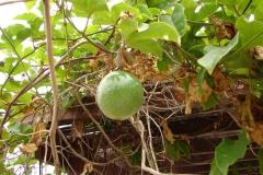 St.-Maarten-0230-Passievrucht-Plantage-Mont-Vernon