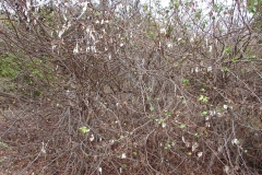 St.-Maarten-0243-Katoenplant-Plantage-Mont-Vernon