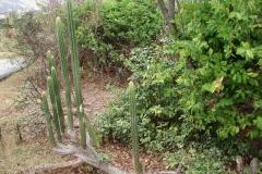 St.-Maarten-0268-Cactus-Plantage-Mont-Vernon