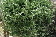 St.-Maarten-0277-Cactusboom-Plantage-Mont-Vernon