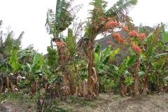 St.-Maarten-0302-Bananenboom-Plantage-Mont-Vernon