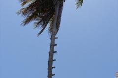St.-Maarten-0425-Palmboom-met-ladder