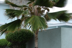 St.-Maarten-058-Palmboom