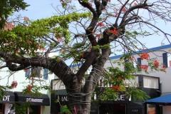St.-Maarten-1071-Philipsburg-Boom-met-rode-bloemen