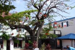 St.-Maarten-1072-Philipsburg-Boom-met-rode-bloemen