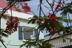 St.-Maarten-1073-Philipsburg-Boom-met-rode-bloemen