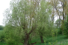 Maasband-23-Wilgen