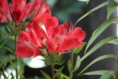 Alstroemeria-Inca-Lolly