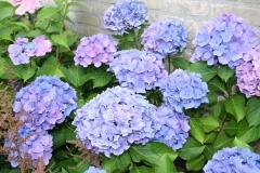 Blauwe-Hortensia-1