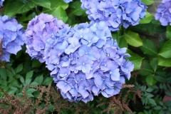Blauwe-Hortensia-2