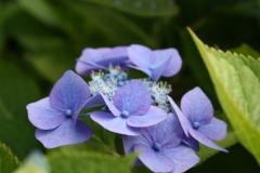 Blauwe-Hortensia-3