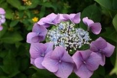 Blauwe-Hortensia-4