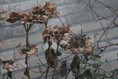 Hortensia-in-de-winter-1