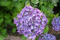 Paarse-Hortensia-1