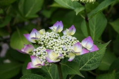 Paarse-Hortensia-2