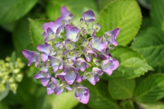 Paarse-Hortensia-3