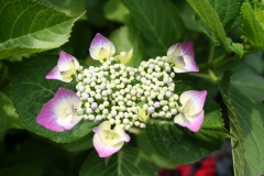 Paarse-Hortensia-4