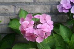Roze-Hortensia-1