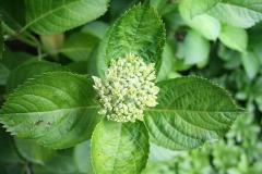 Witte-Hortensia-1