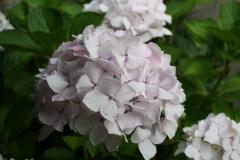 Witte-Hortensia-2