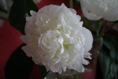 Witte-pioenroos-1