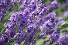 Bunde-Lavendel-1