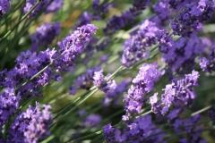 Bunde-Lavendel-2