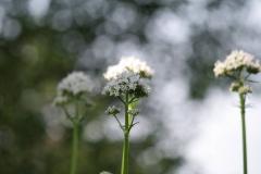 Bunde-Schermbloemen-1