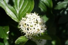 Geverik-en-Beek-047-Witte-bloem