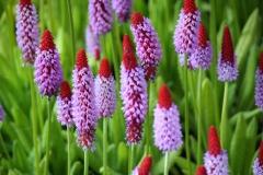 Haarlem-338-Violet-rode-bloemenpracht