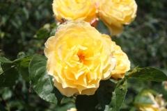 Haarlem-Gele-roos