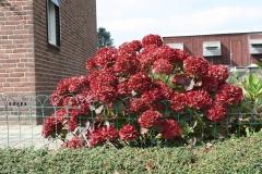 Rode-Hortensia-in-Huls-Bouwerweg