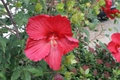 Rode-hibiscus-in-Leeuwen