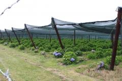 Spaubeek-082-Overdekte-hortensias