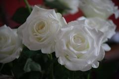 Witte-roos-1