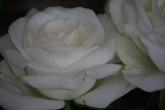 Witte-roos-2